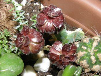 Aeonium arboreum atropurpureum