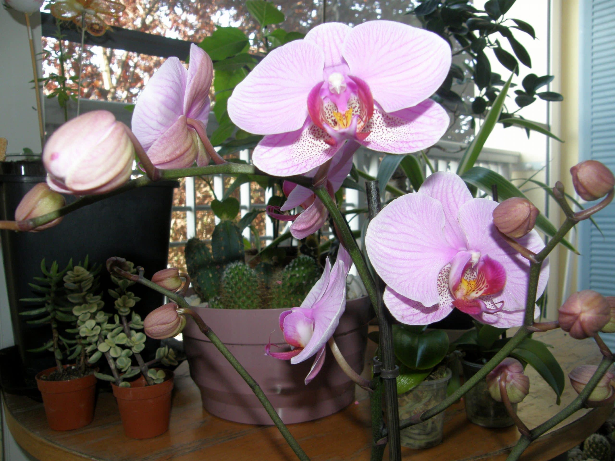Orchidea phalaenopsis microidee for Nuovo stelo orchidea