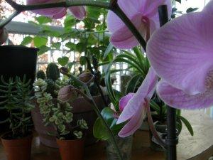 orchidea Phalaenopsis