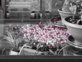Potpourri petali di rosa