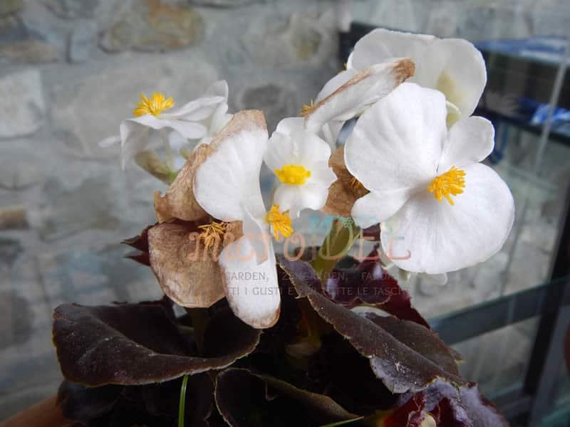 begonia-bianca